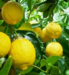 pohon lemon