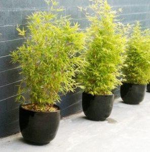 bambu kuning mini