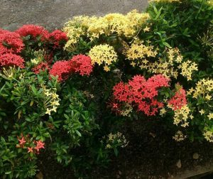 Tanaman Hias Depok Bunga Asoka