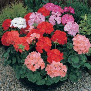 Tanaman Hias Depok Bunga Geranium