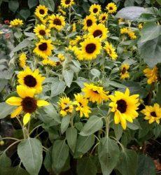 Tanaman Hias Depok Bunga Matahari