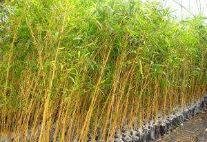 Tanaman Hias Bambu Kuning Mini