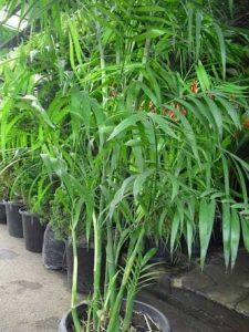 Tanaman Hias Batang Palem Bambu