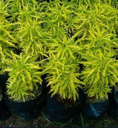 Tanaman Hias Brokoli Kuning