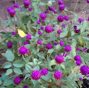 Tanaman Hias Bunga Kancing