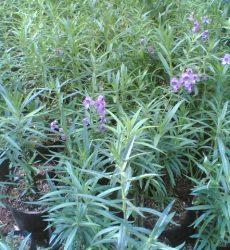 Tanaman Hias Bunga Lavender