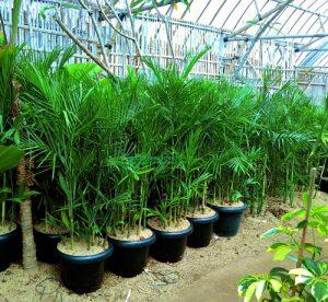 Tanaman Hias Palem Bambu