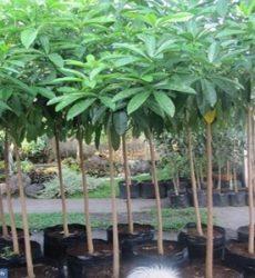 Tanaman Hias Pohon Pule