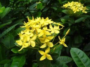 Tanaman Hias Soka Kuning