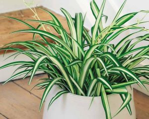Tanaman Hias Depok Spider Plant