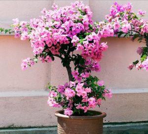 Tanaman Hias Depok Bunga Bougenvile